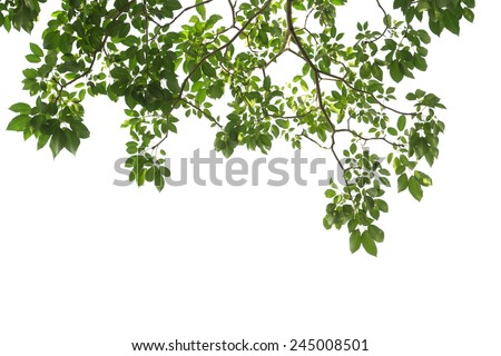 green tree branch isolated - stock photo