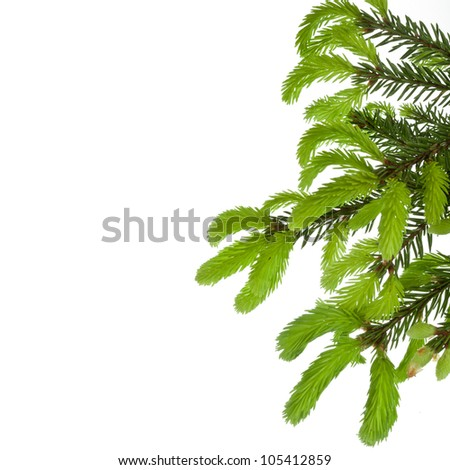 green tree branch with young shoots of pine , border,  isolated on white - stock photo