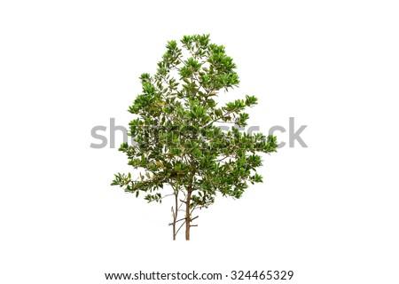 Green tree , eucalyptus tree isolated on white background - stock photo