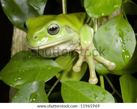 Green Tree Frog 1 - stock photo