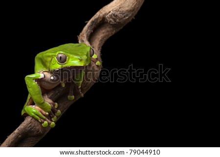 green tree frog at night on diagonal branch in amazon rain forest of Brazil beautiful poisonous amphibian this treefrog is a nocturnal animal of the rainforest in south America macro with copy space - stock photo