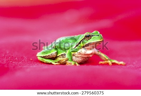 Green Tree Frog (Hyla arborea) on a branch - stock photo