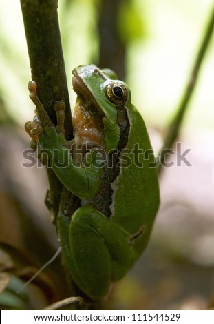 green tree-frog in the forest