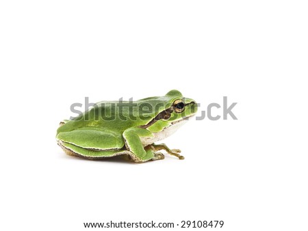 Green Tree Frog isolated on white background. Shallow DOF. - stock photo