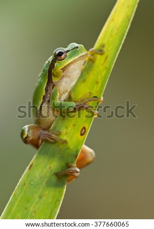 Green Tree Frog on a reed leaf (Hyla arborea) in nature