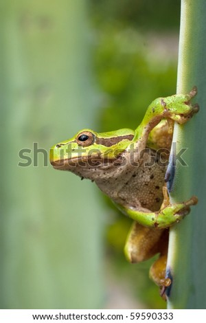 Green Tree Frog on agava leaf (Hyla arborea)