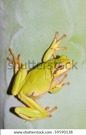 Green Tree Frog on an agava leaf (Hyla arborea) - stock photo