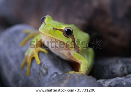 Green tree frog  on stone
