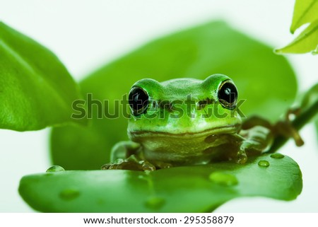 Green tree frog peeking out from behind the leaves, isolated on white - stock photo