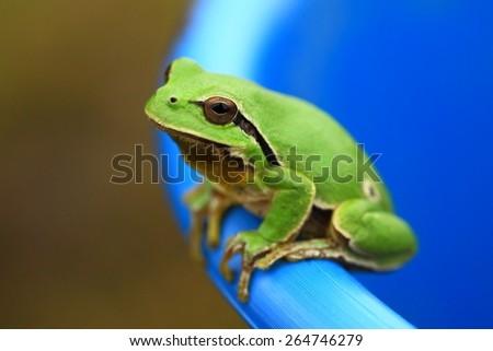 Green tree frog peeking out of a bucket - stock photo