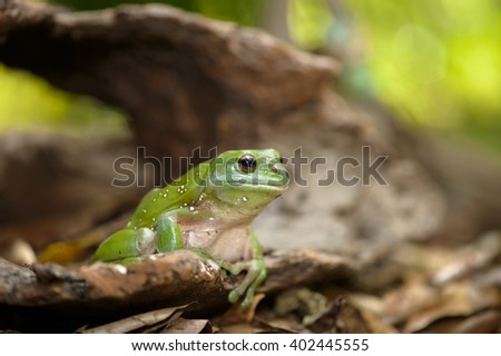 Green Tree Frog sitting on a log