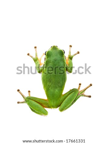 Green Tree Frog. Top view. Isolated on white background. Shallow DOF.