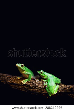 Green Tree Frogs on dark background - stock photo