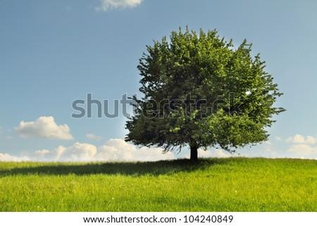 Green tree in full leaf in a field summer - stock photo