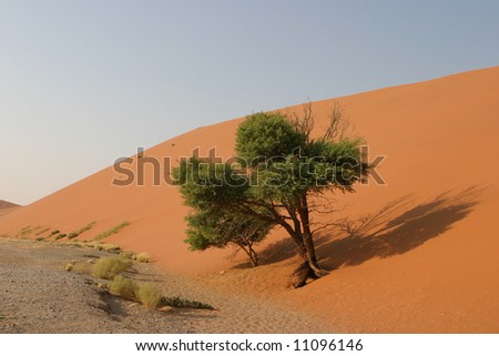 green tree in the namibian desert growing at the bottom of a red dune - stock photo