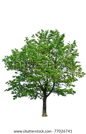 green tree isolated on a white background - stock photo