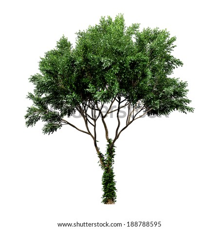 Green tree isolated on a white background, tree, tree, tree, tree, tree, tree, tree, tree, tree, tree, tree, tree, tree, tree, tree, tree, tree, tree, tree, tree, tree, tree, tree, tree, tree, tree - stock photo