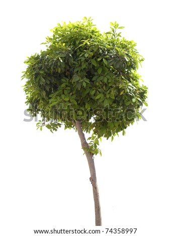 Green tree isolated on the white background - stock photo