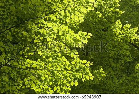 Green tree leaves in forest, beech branches texture - stock photo