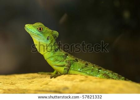 Green tree lizard - stock photo
