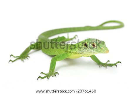 Green Tree Monitor Lizard (Varanus prasinus) on white background. - stock photo