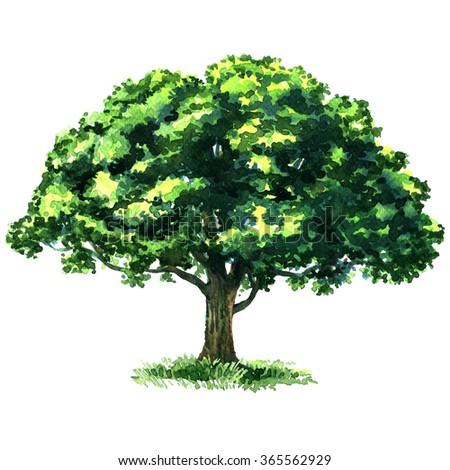Green tree oak isolated on white background - stock photo