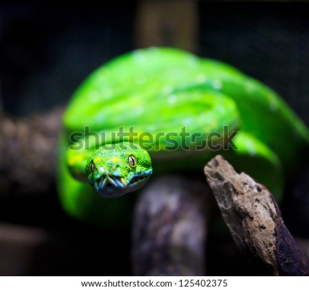 Green Tree Python - stock photo