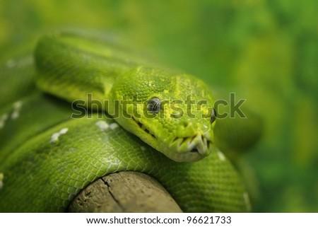 green tree python - stock photo