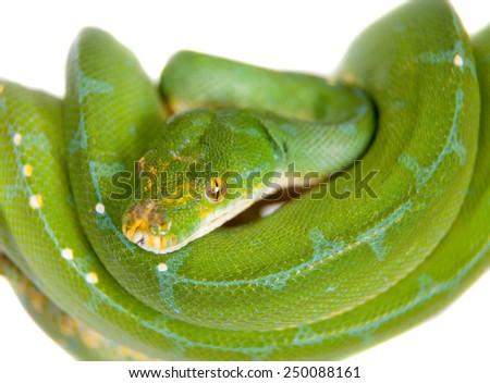 Green tree python, chondros isolated on  white - stock photo