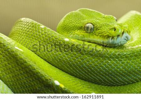 green tree python clear - stock photo