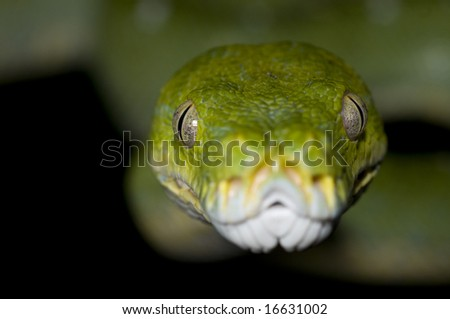 Green Tree Python closeup against black background - stock photo
