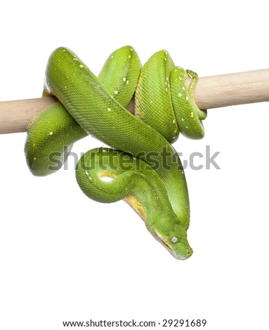 green tree python looking down - Morelia viridis (5 years old) in front of a white background - stock photo