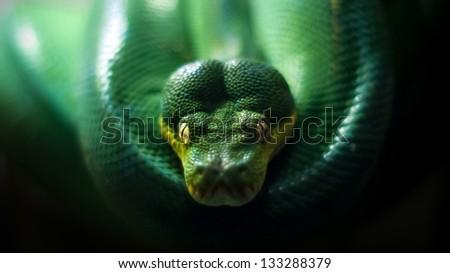Green Tree Python (Morelia viridis) - stock photo