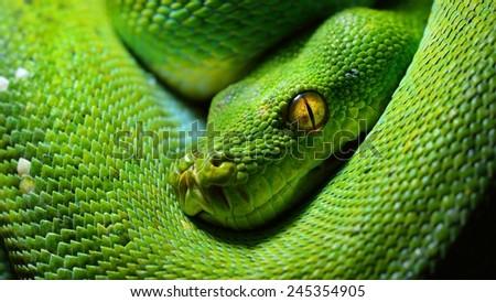 green tree python Morelia viridis - stock photo
