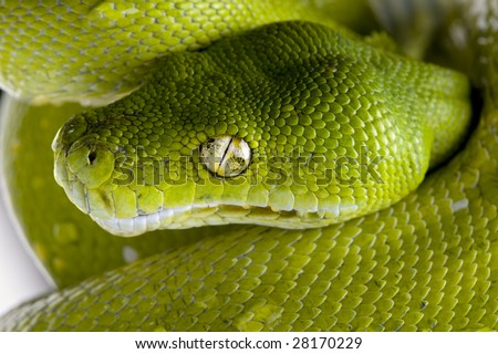 green tree python - Morelia viridis (5 years old) in front of a white background - stock photo