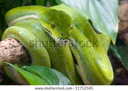 Green tree python on a tree branch - stock photo
