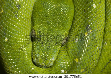 Green tree python snake curled up and resting - stock photo