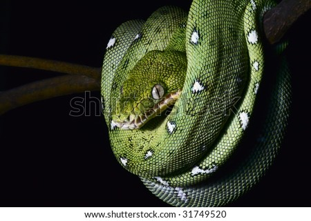 green tree snake emerald boa in the Bolivian rainforest strangler serpent of amazon rain forest at night on branch endangered reptile nocturnal animal treesnake black background copy space - stock photo