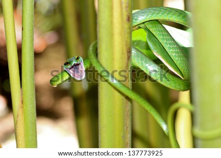 green tree snake in Costa Rica