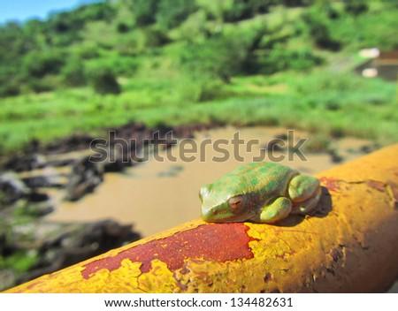 Green tree toad sleeps on rusty tube. Shot in Hazelmere Dam Nature Reserve, near Durban, North Coast of Kwazulu-Natal, South Africa. - stock photo