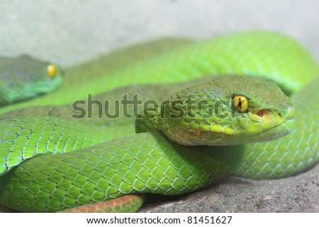 Green Tree Viper - stock photo