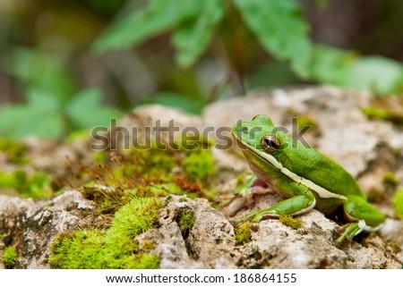 Green Treefrog - stock photo