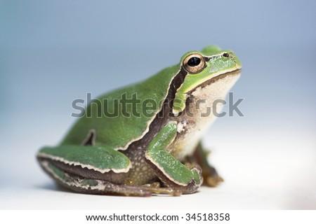 green treefrog close up,shallow Dof - stock photo