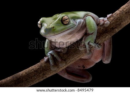 Green Treefrog with black background - stock photo