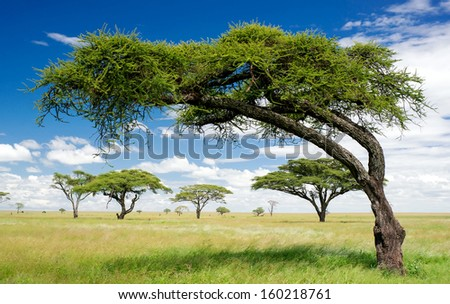 Green trees in Africa, after the rainy season. / African landscape.  - stock photo