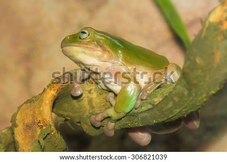Green tropical frog on a branch close-up - stock photo