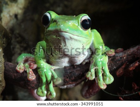 green tropical frog with big eyes sitting on a brunch - stock photo
