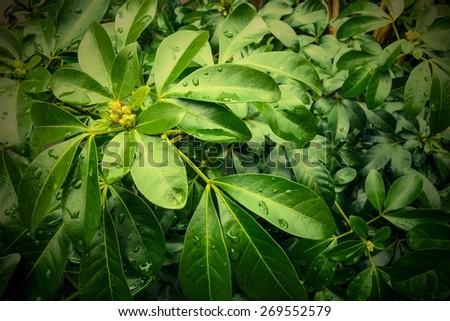 Green tropical looking leaves, foliage of Choisya ternata, Mexican orange blossom plant. - stock photo