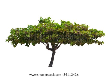 green tropical tree isolated on white background