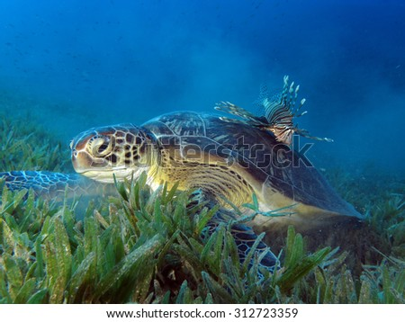 Green turtle and unusual partner: the lionfish - stock photo